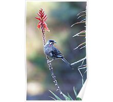 Red Wattle Bird 3 Poster