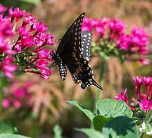 Backyard Butterfly by TJ Baccari Photography
