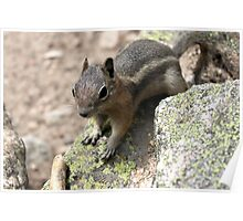 Rocky Mountain Squirrel Poster