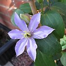 New Blue Clematis Blossom by BlueMoonRose