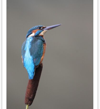 Kingfisher Perched on Riverside Reed Sticker