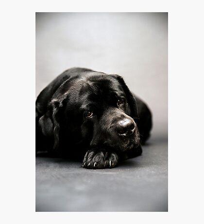 lovely Labrador Retriever  Photographic Print