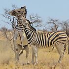 Zebra Fight - African Stallions by LivingWild