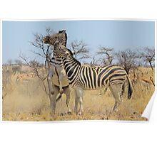Zebra Fight - African Stallions Poster