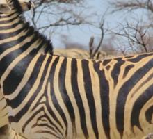 Zebra Fight - African Stallions Sticker