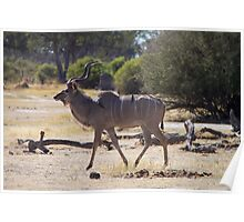 Male Kudu Antelope with Oxpecker Birds Poster