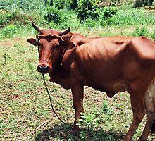 Young Bull, Jinja Uganda by clydemax