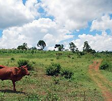 Young Bull, Jinja, Uganda by clydemax