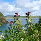 Hemp agrimony near the cliff path at Porth Meudwy by Anna Myerscough