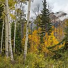 AUTUMN ASPENS by Sandy Stewart