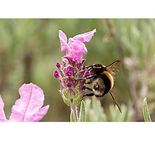Bumble Bee in the garden Photographic Print