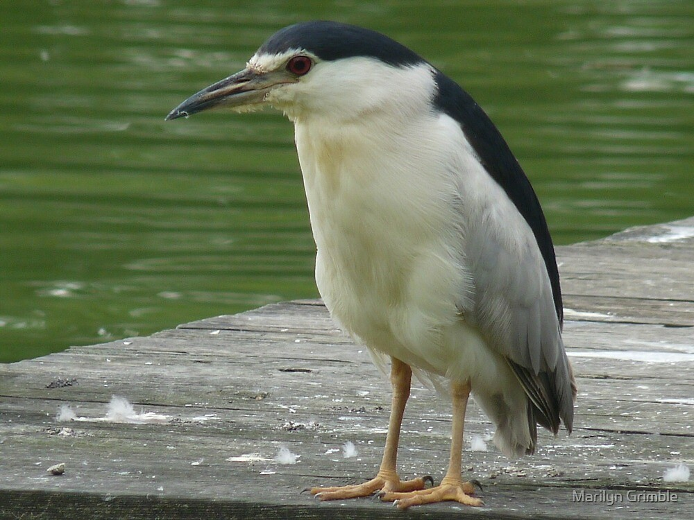 NIGHT HERON - ON DUTY by Marilyn Grimble