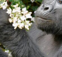 mountain gorilla eating flowers, Uganda Sticker