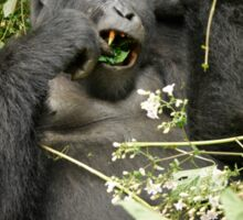 eating mountain gorilla, Uganda Sticker