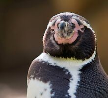 Humboldt Penguin by Thomas F. Gehrke