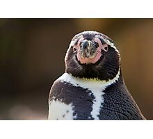 Humboldt Penguin Photographic Print