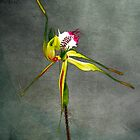 Australian Native Spider Orchid II by Mark Richards