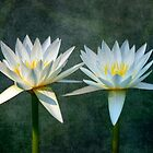 Water Lillies by Mark Richards