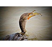 Cormorant Fishing for Shrimp Photographic Print