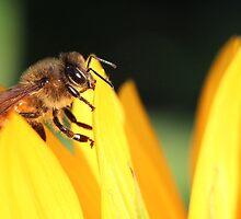 Honey bee on Sunflower by nancyanndesigns