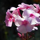 Pink Phlox by Linda  Makiej