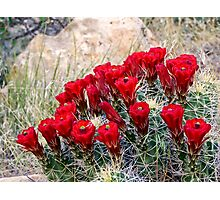 Red Claret Cup Cactus Flowers in Captiol Reef National Park Photographic Print