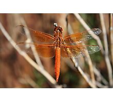 Red Dragonfly Wings Photographic Print