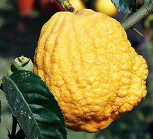 lemon in spring by spetenfia