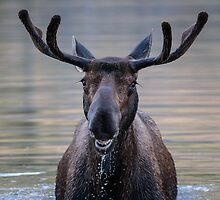 Friendly Moose by Gary Gray