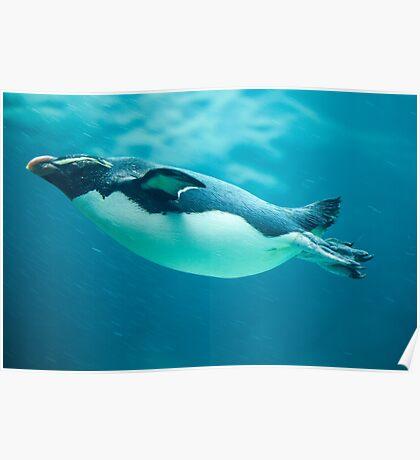 Fiordland Penguin Poster