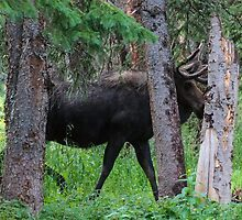 Moose in the Woods by Gary Gray