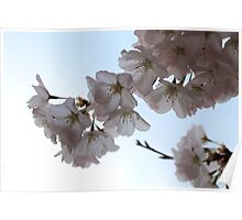 Cherry blossoms, Washington DC Poster