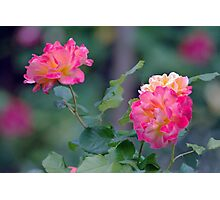 Cottage Garden Roses Photographic Print
