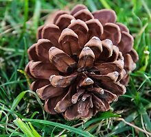California Pine Cone by Heather Friedman