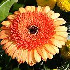 Autumn Gerbera Daisy. by Lee d'Entremont