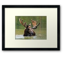 Wild Moose in Colorado Framed Print