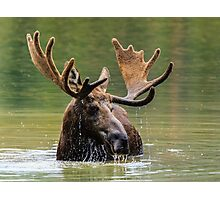 Wild Moose in Colorado Photographic Print