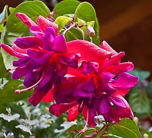 Pink And Purple Fuschia Blossoms by Sandra Foster