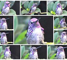 MALE COSTA'S HUMMINGBIRD POSING ON A BRANCH by JAYMILO
