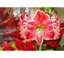 Christmas Lilies/Red Amaryllis Photographic Print