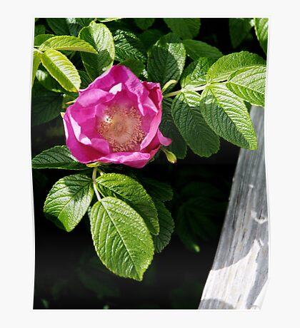 Lone Beach Rose Poster