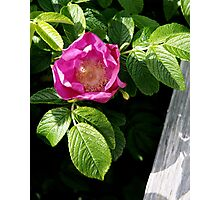 Lone Beach Rose Photographic Print