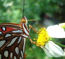 Gulf Fritillary  by May Lattanzio