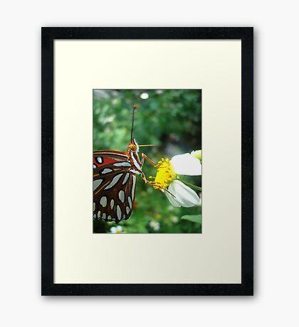 Gulf Fritillary  Framed Print