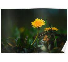 Yellow Dandelion Poster