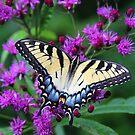 Tiger Swallowtail - Hueston Woods Ohio by Tony Wilder