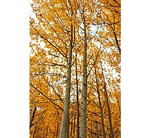 Aspens #2 Photographic Print