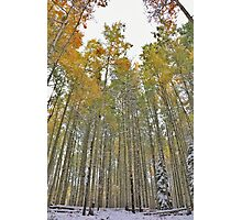 Aspens #3 Photographic Print