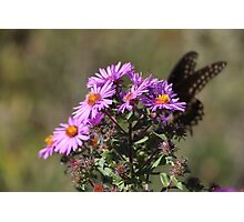 Flowers w a black butterfly  Photographic Print