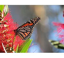 Monarch on a Flower Photographic Print